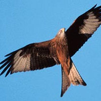 Red Kite Trail